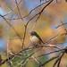 Daurian redstart female (Phoenicurus auroreus,  ジョウビタキ)