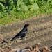 Crow in a field