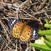 Indian fritillary butterfly female (Argyreus hyperbius hyperbius, ツマグロヒョウモン)