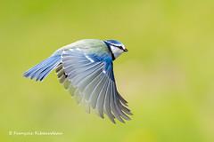 Vol de Mésange bleue (fribodo) Tags: mésange oiseaux bird vol