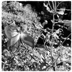 late season rose (karma (Karen)) Tags: baltimore maryland frontyard bushes roses dof bokeh mono bw iphone hmbt