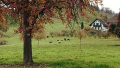 Herbstlandschaft (doro 51) Tags: herbst autumn au zh ch baum tree schafe sheep dorophoto 2019