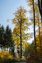 In the Forest near Gaiberg - November 2019 II (boettcher.photography) Tags: rheinneckarkreis badenwürttemberg germany deutschland sashahasha boettcherphotos boettcherphotography herbst autumn fall november 2019 tree baum bäume trees natur nature gaiberg