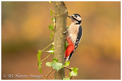 Knock on Wood ! -  Male Great Spotted Woodpecker (www.andystuthridgenatureimages.co.uk) Tags: woodpecker gsw great spotted tree branch ivy peck pecking knocking tapping bough woodland wood forest devon uk canon