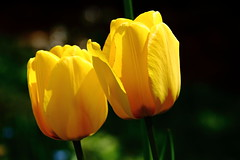 Tulipe IMG_1876 (Paul_Paradis) Tags: blossom fleur flora floral flower jardin garden plante plant nature natural ete summer tulipe brillant macro canada quebec iledorleans