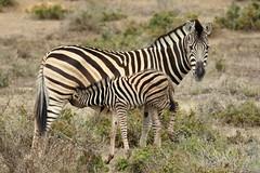 Burchell's Zebra-7D2_7365-001 (cherrytree54) Tags: canon7dmkii sigma 150600 kariega game reserve port elizabeth south africa burchells zebra