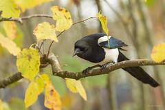 Pie bavarde - Eurasian Magpie (Serge Lemaire) Tags: automne bird birdwatching campagne chemin nature oiseau ornithologie ornithology wildlife