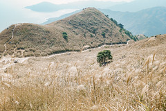 Miscanthus (danieltamkl) Tags: sony a7 a7iii a73 landscape nature natural colour plants mountain hongkong hong kong travel asia 2875 tamron t2875 gm ngc