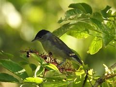 Male Blackcap eating elderberries (blue33hibiscus) Tags: bird blackcap tree leaves langfordlakes naturereserve wiltshire elderberry elder