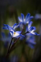 NA1920749 (Photos soumises à la SPPQ) Tags: bulbe fleur bleu chionodoxa macro