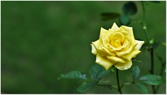 'The most beautiful way to start and end the day is with a grateful heart.' (Ramalakshmi Rajan) Tags: yellow rose roses flowers flower inmygarden nikon nikond750 50mm nikkor50mm quotes