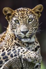 Last leopard picture (Tambako the Jaguar) Tags: leopard big wild cat female leopardess posing lying resting portrait face close log branch paw looking bratislava zoo slovakia nikon d5