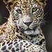 Last leopard picture