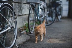 猫 (fumi*23) Tags: ilce7rm3 sony 85mm emount fe85mmf18 a7r3 animal alley cat chat gato neko tokyo yanaka 東京 谷中 台東区 ソニー ねこ 猫