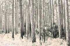 Longleaf Pine Stand (paulgarf53) Tags: seminolestateforest forest trees pine longleafpine florida nature topaz topazstudio2 nikon d700