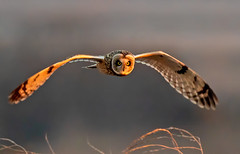 Short eared owl (Thy Photography) Tags: nature animal backyard outdoor wildlife california sunset bird sunshine sunrise dawn dusk thyphotography shortearedowl