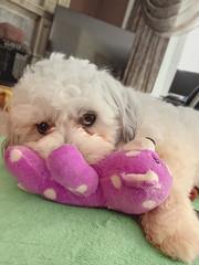 Charlie spells t-r-o-u-b-l-e (•tlc•photography•) Tags: dog teddybear zuchon bichonfrise shihtzu