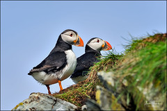 Atlantic puffins are standing on the edge of the cliff (hakoar) Tags: seabird portrait atlanticpuffin puffin nature wing standing look orange animal looking stand bird finnmark white wings beak commonpuffin norway red wilderness auk vardø beautiful fisher funny colorful posture plumage fauna family fraterculaarctica cliff black florida unitedstatesofamerica ornithology avian migratory wildlife