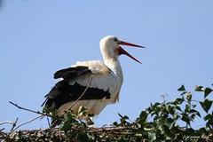 Cigogne blanche (Passion Animaux & Photos) Tags: cigogne blanche white stork naturoparc france