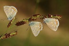 Le trio (passionpapillon) Tags: macro papillon insecte butterfly bokeh color passionpapillon 2019 sonyilce6300 fe90mmf28 macrogoss commonbluepolyommatusicarus azurécommun ngc npc