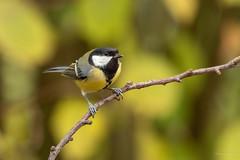 Mésange charbonnière - Great Tit (Serge Lemaire) Tags: automne bird birdwatching chemin nature oiseau ornithologie ornithology passereaux wildlife