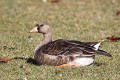 White Fronted Goose (jlcummins) Tags: bird goose geese whitefrontedgoodsterrace heights memorial parkyakima countywashington state
