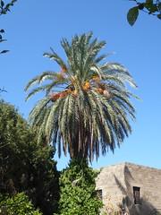 Palm tree, Archeological Museum, Rhodes (luckypenguin) Tags: greece aegean dodecanese rhodes rodos unesco worldheritagesite archeologicalmuseum museum