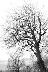 Autumn trees (rotabaga) Tags: sverige sweden svartvitt göteborg gothenburg blackandwhite bw tree träd pentax k70