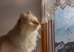 Sunshine, what a surprise ! (FocusPocus Photography) Tags: dragon tofu katze kater cat fenster window blick view tier animal