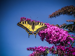 a wonderful swallowtail (Peters HDR hobby pictures) Tags: petershdrstudio hdr butterfly swallowtail bluesky animal schmetterling blauerhimmel schwalbenschwanz schmetterlingsflieder