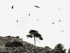 eagles and hawks (panoskaralis) Tags: eagle wildeagle hawk birds tree pine nature outdoor landscape greekisland greeknature lesvos lesvosisland mytilene greece greek hellas hellenic blackandwhite blackwhite nikoncoolpixb700 nikon nikonb700 mountainview mountainside mountains