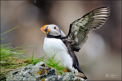 Atlantic puffin is spreading it's wings on the edge of the cliff (hakoar) Tags: animal seabird portrait posture beak standing puffin nature wilderness commonpuffin finnmark plumage wings look orange red norway looking fraterculaarctica colorful stand beautiful fisher funny bird auk black atlanticpuffin fauna wing cliff white florida unitedstatesofamerica fly wild ornithology avian flapping bill migratory wildlife wingspan