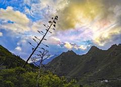 Montes de Anaga - Tenerife (Alphonso Mancuso) Tags: huaweip30pro alphonsomancuso tenerife islascanarias españa europa travel viajes pitera paisaje montesdeanaga anaga landscape verde green outside mountains