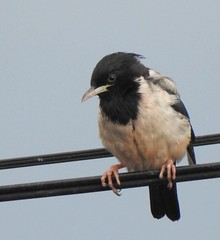 Étourneau roselin (chriscrst photo66) Tags: animal oiseau étourneauroselin bird nature wildlife photographie photography gironde ornithologie ornithology nikon