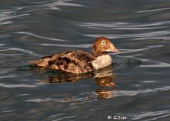 Juvenile Male King Eider (Swift Wings) Tags: birds duck kingeider nature wildlife waterfowl somateriaspectabilis