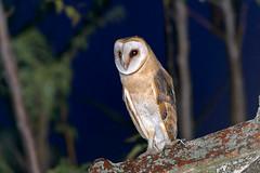 Tyto alba guttata, Τυτώ, Barn owl (belas62) Tags: owl ngc greece bird predator tyto θεσσαλία πουλί κουκουβάγια νυχτοπούλι αρπακτικό