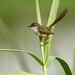Yellow-bellied Prinia (Prinia flaviventris)