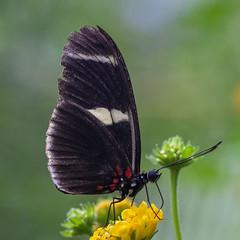 Heliconius sara (Ouwesok) Tags: sonya6000 vivitar2590mmmacro heliconiussara kleinepassiebloemvlinder vlinder insect vlindertuin burgersmangrove