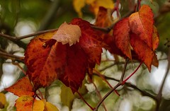 Nature (ost_jean) Tags: ostjean nature natuur bokeh colors bladeren nikon d5300 autumn leaves feuilles tamron herfst