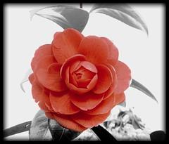 """RED""(Camelia) #photooftheday #photography #Huawei #flowers #colors #macrophotography #macro #camelia #saffsunset #galiciavisión #galicia #vilagarciadearousa #galiciapasion #galiciamaxica #galeoska #queverengalicia #vga_viva #VisitaOSalnés #vilagart #visi (saffsunset) Tags: photooftheday macro flowers galiciavisión visitosalnes saffsunset galiciamaxica galeoska vgaviva colors galicia vilagarciadearousa vilagart camelia macrophotography galiciapasion visitaosalnés huawei queverengalicia photography vilagarciaviva"
