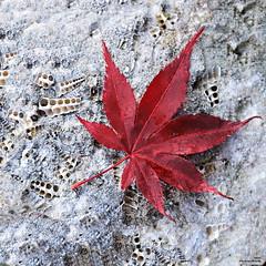 La feuille d'automne (Un jour en France) Tags: canoneos6dmarkii ef1635mmf28liiusm eos automne feuille carré érable