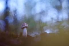 IMG_6697 - Parmi les feuilles (mp mapa) Tags: yvelines france macro proxi foret automne nature champignon
