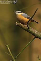 Nuthatch (Sitta europaea) (gcampbellphoto) Tags: sitta europaea nuthatch bird avian scotland wildlife gcampbellphoto nature