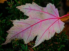 Artery (L@nce (ランス)) Tags: leaf autumn fall macro micro nikkor nikon victoria canada