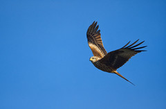 Red Kite flight (Margaret S.S) Tags: bird inflight raptor redkite