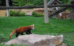 Panda roux (balese13) Tags: 100nikon 1855mm beauval d5000 loiretcher nikonpassion saintaignan yourbestoftoday animal balese firefox green nikon nikonistes pandroux pixelistes vert zoo 250v10f 500v20f 1000v40f
