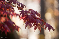 There is a subtle magic in the air (Irina1010) Tags: leaves maple tree branch foliage red autumn bokeh light garden season fall beautiful nature canon coth5 ngc npc
