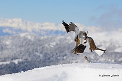 Scaramucce in alta quota... (Fringuelli alpini) (silvano fabris) Tags: wildlifephotography canonphotography nature natura animals animali uccelli birds fringuellialpino