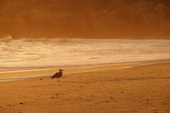 seagull, seagull, portugal (tamasmatusik) Tags: albufeira algavre portugal portugália ocean atlanticocean beach shore sand november sony sonynex nex3n milc sunset 210mm nature seaside faro praia seagull gull bird