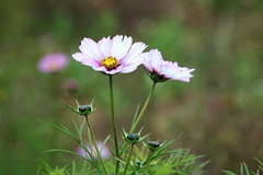 Cosmos buds (ekaterina alexander) Tags: cosmos flower flowers asteraceae white yellow pink autumn buds bud england sussex ekaterina alexander nature photography pictures